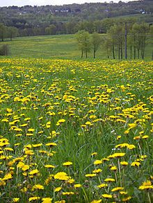 Ten more dandelion recipes to make with kids Raw Food Recipes, Vegetable Recipes, Dandelion Leaves, Dandelions, Sorbet, Dandelion Recipes, Taraxacum Officinale, Healthy Deserts, Black Flowers