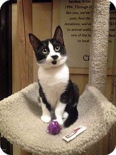 San Jose, CA - Domestic Shorthair. Meet Frisky, a kitten for adoption. http://www.adoptapet.com/pet/11403378-san-jose-california-kitten