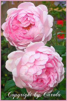 Auswife rose by David Austin