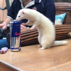 Always trying to steal my drinks ahah #ferret #ferrets #ferretlove #ferretsofinstagram #ferretfun #ferretsareamazing #ferretlife #ferretlover #ferretsofig #petstagram #petsofinstagram