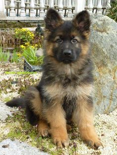 Wicked Training Your German Shepherd Dog Ideas. Mind Blowing Training Your German Shepherd Dog Ideas. German Shepherd Photos, Australian Shepherds, German Shepherd Puppies, Baby German Shepherds, Gsd Puppies, Cute Puppies, Cute Dogs, Beautiful Dogs, Animals Beautiful