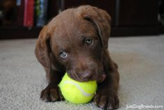 Think of a great name for this Chesapeake Bay Retriever (Jen)! Bentley? Piki? Help!