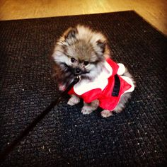 #Timber the #pomeranian #puppy as Santa, the downtown shopper!