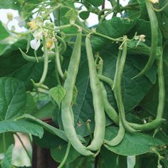 "KENTUCKY WONDER POLE: Introduced by James J. H. Gregory and Sons in 1877, most likely known as Texas Pole before this date.  Vigorous plants grow 6-7' tall and yield clusters of 6-10"" slightly flattened, stringless pods.  Excellent flavor, great for canning and freezing.  60-65 days."