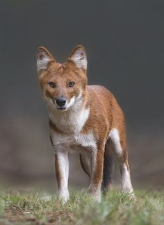 The Dhole (Cuon alpinus), also called the Asiatic wild dog or Indian wild dog, is a species of canid native to South and Southeast Asia.
