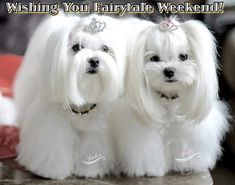 Dog And Puppies Memes Untitled.Dog And Puppies Memes Untitled Teacup Maltese, Maltese Dogs, White Puppies, Dogs And Puppies, Doggies, Dog Suit, Mini Dogs, Malteser, Best Dog Training