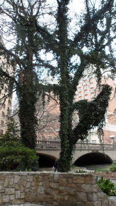 Ivy covered tree along the Riverwalk San Antonio