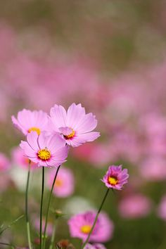 Pink Cosmos Flowers~~ I want perennials of this flower. LOVE them!!