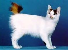 Excellent Pictures cat breeds japanese bobtail Popular Kitties having major eardrums may become essentially the most attractive creatures within the world. These kinds of spe Japanese Bobtail, Japanese Cat, Animals For Kids, Animals And Pets, Cute Animals, Cats Outside, Bobtail Cat, Cat Pose, Owning A Cat