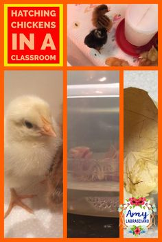 Click here to learn all about hatching chickens in the classroom.  These fun ideas work for any primary or intermediate elementary classroom.  Your kindergarten, first, second, third, fourth or fifth grade students will the love learning how to hatch chicks and care for them until them are returned to the farm. {kindergarten, first, second, third, fourth, fifth grade, homeschool}