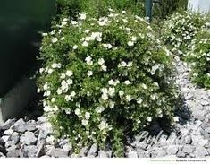 Potentilla abbotswood - Masses of white flowers resembling wild roses from late spring to mid autumn, above compact mounds of grey green leaves Planting Shrubs, Planting Flowers, Horticulture, Easy Care Plants, Plant Catalogs, Family Garden, Tall Plants, Boarders, Trees And Shrubs