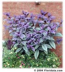 Persian Shield planted in partial shade will pick up the light and reflect it back off its leaves. It makes a striking border plant, particularly when paired with soft gray greens or chartreuse. Even when grown as an annual, Persian Shield make an eye-catching addition to borders and containers. An annual except in zones 9+. Bring a plant or two indoors, and grow as houseplants through the winter.