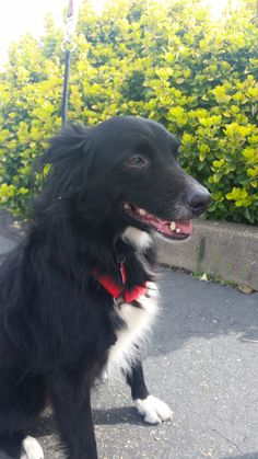 Maxwell is a 5-year old male Border Collie blend. He is great with kids, good with other dogs and fine with cats. Max is house, leash and crate trained, knows the commands for sit and stay, and loves car rides. He is neutered and vaccinated. Apply with Another Chance Animal Welfare League Adoption Center at www.acawl.org. Call 547-7387. Go to www.redding.com for more adoptable pets.