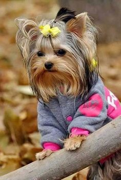 "35 Yorkshire Terrier ""Yorkie"" Puppies You Will Love Yorkies, Yorkie Puppy, Yorkie Terrier, Terrier Dogs, Bull Terrier, Yorkshire Terrier Dog, Yorkshire Puppies, Cute Puppies, Cute Dogs"