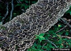 44 best mushrooms images on pinterest fungi mushrooms and edible a promising clinical study shows that the turkey tail mushroom trametes versicolor improves fandeluxe Gallery