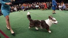 Westminster Kennel Club Dog Show Day 1