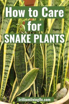 How to Care for Snake Plants Snake plants are succulents that grow well in low-light rooms. Indoor Gardening Supplies, Container Gardening, Gardening For Beginners, Gardening Tips, Snake Plant Care, Garden Compost, Indoor Plants, Indoor Flowers, Tropical Plants
