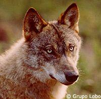 Grupo Lobo - objectivo conservação do lobo - Página 1 - Fauna e Flora - Naturlink