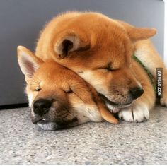 Snuggling shiba, to our last week together. Kittens And Puppies, Cute Puppies, Animals And Pets, Cute Animals, Animal Hugs, Japanese Dogs, Akita Dog, Mundo Animal, Shiba Inu