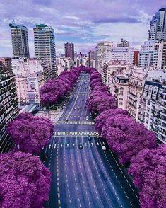 Jacarandas. Buenos Aires, Argentina
