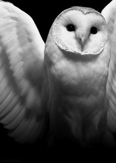My favorite owl: The Barn Owl. An historic totem.