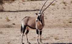Antelopes of Africa | African Antelope Species African people known as the
