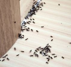 When you see a sudden swarm of ants on the pavement near your home and business, is it cause for alarm? Read on to learn about ant behaviour and when it's time to call a professional pest removal company. Get Rid Of Spiders, Get Rid Of Ants, Different Types Of Ants, Box Elder Bugs, Ants In House, How To Remove Glue, Exterior Entry Doors, Stink Bugs