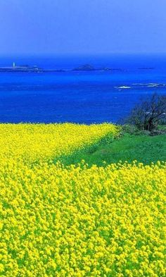 Jeju Island is very well known as a popular vacation spot in South Korea. One of the main reasons is Jeju island as the new of seven wonders and Jeju island has more attractive places. Dream Vacations, Vacation Spots, Places To Travel, Places To See, Jeju Island, Mellow Yellow, Blue Green, South Korea, Wonders Of The World