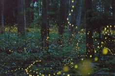 This forest in the Chūgoku region of Japan, is home to tons and tons of gold fireflies!