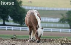 Everything you need to know about the care and keeping of your Miniature Horse