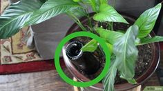 How to Make Wine Bottle Plant Waterer (with Pictures) - wikiHow