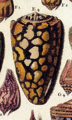 Conus marmoreus http://penelope.uchicago.edu/~grout/encyclopaedia_romana/aconite/marmoreus2.jpg