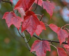 UFEI - SelecTree: A Tree Selection Guide   Acer Rubrum _Red Maple [5