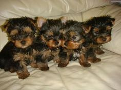 The Secrets of Raising a Yorkie Puppy | Yorkshire Terrier Hub
