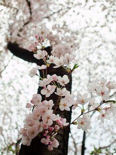 sakura blossoms, japan. Spring pink flowers