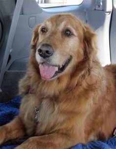 This is Rhapsody - 8 yrs. She is an owner surrender due to lack of time. She is spayed, current on vaccinations, potty trained, rides well in a car, walks ok on leash - needs a refresher course. She needs to lose a few lbs. Rhapsody is an easy-going, sweet girl looking for a forever home & is at Golden Retriever Club of Greater Los Angeles Rescue, CA.