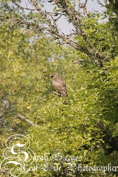 Sarah's Scenes: Red Tailed Hawk