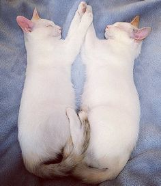 Twin Kittens mirror each other when they sleep