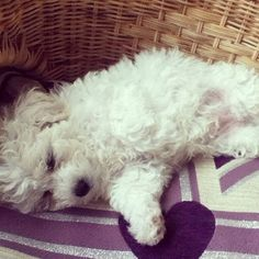 this #bichon loves #wicker :) cozy #dog in a #wickerbasket via http://blog.wickerparadise.com