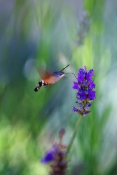 """Hummingbird hawk-moth"" by Ricardo Alves, via 500px."
