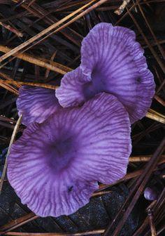 Collybia iocephala purple Mushroom.