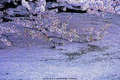春の色に染まった千鳥ヶ淵。