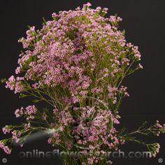 Waxflower Hybrid Eric John - Cut Flower Wholesale, Inc. -- leading wholesale florist in Atlanta, GA U.S.A.