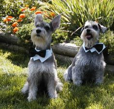 Collar and bow tie on mini schnauzers- for @Becca Klein