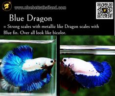 All of Betta Fish – A Guide on Patterns, Color in the world - Nice Betta Thailand.CO.,LTD Orange Bodies, Brown Bodies, Betta Fish Types, Fish For Sale, Siamese Fighting Fish, Fish Farming, Blue Dragon, Beautiful Fish