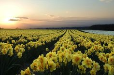 Daffodils for miles