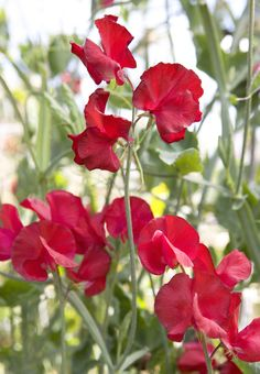 Lathyrus odoratus 'Winston Churchill': crimson red, velvety flowers with a fantastic fragrance.Train it up an obelisk or trellis, or in a patio pot. Flowers in the summer, through June, July, August.