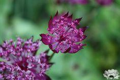 Astrantia - lovely flower structure
