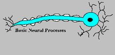 The basic neuron and the movement when the messages bounce off one another nerve to nerve. Nervous System Anatomy, Human Nervous System, Neurology, Neurons, Consciousness, Animated Gif, Physics, Connection, Messages