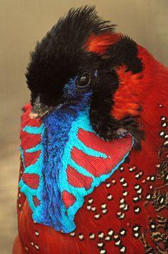 Satyr Tragopan Pheasant